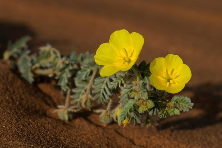 Tribulus Terrestris info and review article by Ookles.com